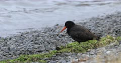 Variable Oystercatcher, Haematopus unicolor, by sea 4K