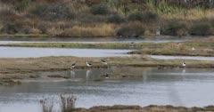Pied Stilt, Himantopus leucocephalus, on water 4K