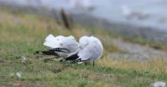Pair of Silver Gull, Chroicocephalus novaehollandiae 4K