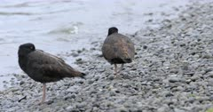 Pair of Variable Oystercatcher, Haematopus unicolor 4K
