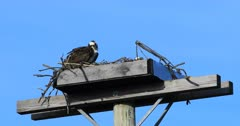 Pair of Osprey, Pandion haliaetus, on nest 4K