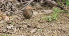 California Towhee, Melozone crissalis, on ground 4K
