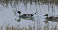 Pair of Northern Pintail, Anas acuta, swimming 4K