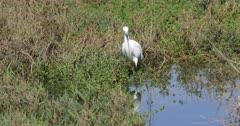 Snowy Egret, Egretta thula, hunting in marsh 4K