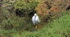 Snowy Egret, Egretta thula, hunting in water 4K