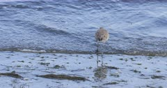 Willet, Tringa semipalmata, feeding at water's edge 4K