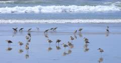 Flock of Willets, Tringa semipalmata, at ocean shore 4K