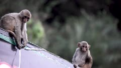 Rhesus Macaque Baby play with billboard with Plastic and Flex.