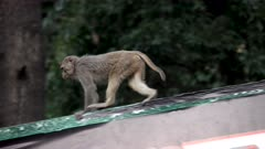 Rhesus Macaque juvenile tearing billboard