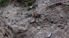 Rhesus Macaque climbing down hillside to feed