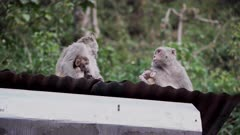 Rhesus Macaque mothers sitting and nursing babies