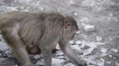 Rhesus Macaque mother carrying baby and feeding on road tensely while baby is slipping off.