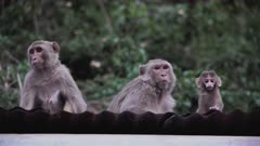 Rhesus Macaque mothers sitting with baby, sight danger and become protective.