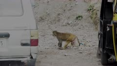 Slightly Overexposed shot - Rhesus Macaque pan appearing from behind tuktuk and disappearing behind a car.