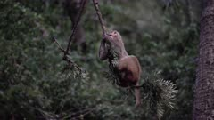 Rhesus Macaque hanging and lazing on a branch at dusk