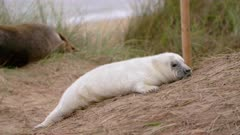 Grey seal pup plays with grass, cute