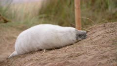 Grey seal pup rests on beach, cute