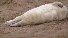 Grey seal pup lies on back, cute