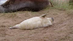 Grey seal pup plays on sand, cute