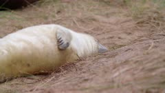 Grey seal pup scratches, cute