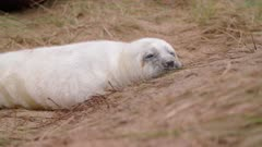 Grey seal pup snoozes on the sand, cute