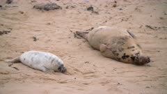 Grey seal mother and pup relax on beach, cute