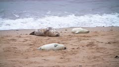 Grey seals and pups resting on beach