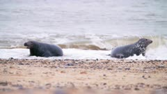 Male grey seal pursues female in the surf