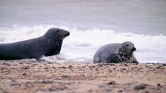 Male and female grey seals fight as he tries to mate with her