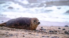 Juvenile grey seal rests on beach