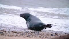 Male grey seal cautious in the surf