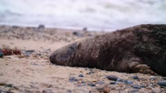 Large male grey seal rests on beach
