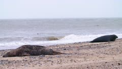 Grey seals rest on beach