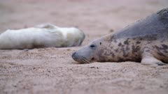 Mother and pup grey seals sleep on beach