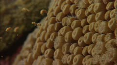 Flower Garden Banks Spawning Coral