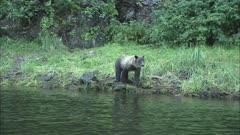 Grizzly Bear on Alaska Coastline Feeding