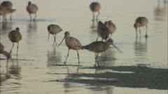 Long-billed Curlews on the Beach in Baja California