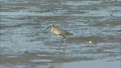 Long-billed Curlew on the Beach in Baja California