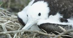 Galapagos Frigate Bird juvenile