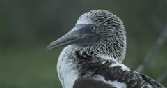 Galapagos Blue-Footed Booby CU