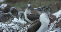 Galapagos Blue-Footed Booby nursing ground