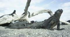 Galapagos Marine Iguanas WIDE