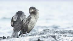 Galapagos flightless Cormorant preening 2