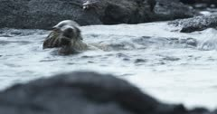 Galapagos Sea Lion pups playing in water