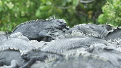 Galapagos Marine Iguanas cluster