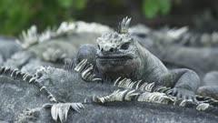 Galapagos Marine Iguanas cluster one CU