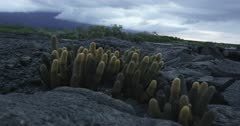 Galapagos Volcanic island cactus handheld