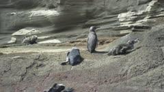 Galapagos penguin marine iguana