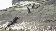 Galapagos penguin marine iguana 3