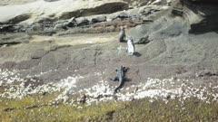 Galapagos Penguin marine iguana 4